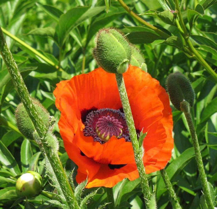 poppies flo gris 030 (2)