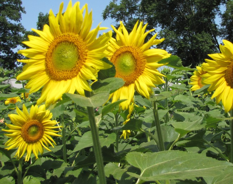 sunflowers 005 (2)