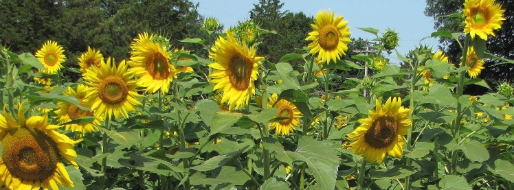 sunflowers 007