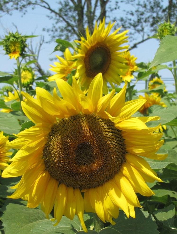 sunflowers 010