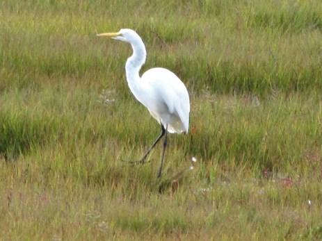 egrets9-14-14008