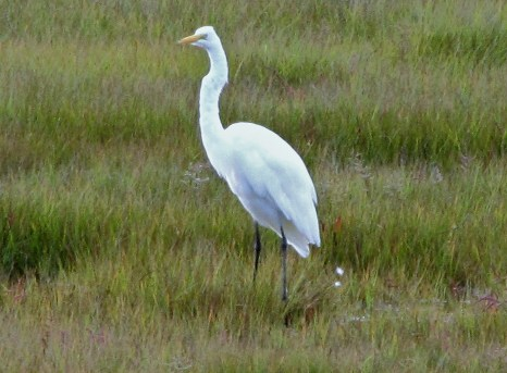 egrets9-14-14010(2)