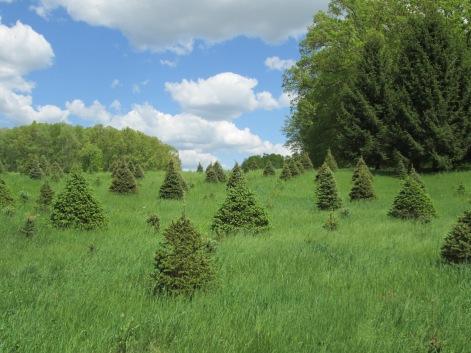 TreesGlastonbury003