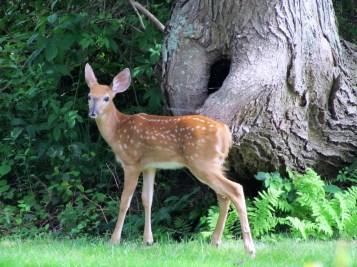 more deer 023a (2)