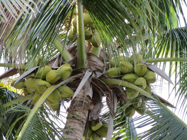coconutsbikeride2015 011