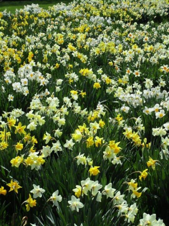 daffodils- jal2IMG_8356