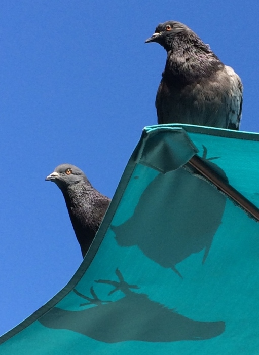 pigeons2-2